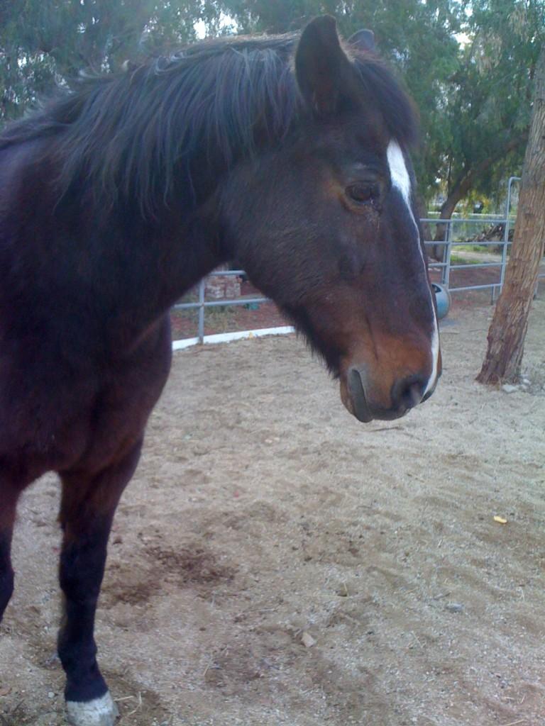 an aged horse